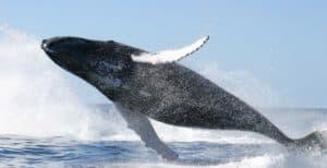 Baleine Transfert bateau Tamatave à Ste Marie Gasikara Be